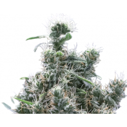 Acid Diesel CBD Feminized (Gnomes Seeds)