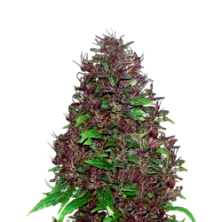 Auto Cream  Candy Feminized (Gnomes Seeds)