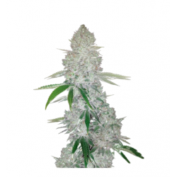 Auto Gorilla Glue Feminized (Gnomes Seeds)