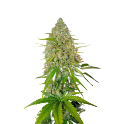 Auto Grapefruit Feminized (Gnomes Seeds)