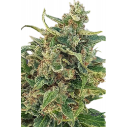Auto Triple XL Feminized (Gnomes Seeds)