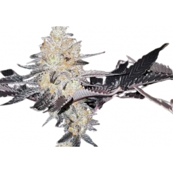 Black Hulk Feminized (Gnomes Seeds)