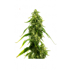 CBD Early Harlequin Kimbo Kush Feminizowane (Gnomes Seeds)