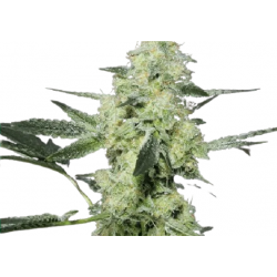 DO-SI-DOS Feminized (Gnomes Seeds)