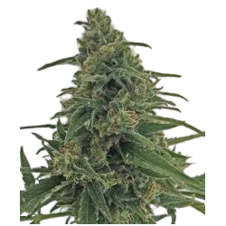 Critical Early Version Feminizowane (Gnomes Seeds)