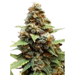 Gorilla Lemon Fire Feminized (Gnomes Seeds)