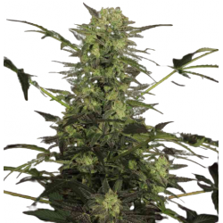 MK Ultra Feminized (Gnomes Seeds)