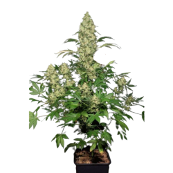 WW x AK 47 Feminized (Gnomes Seeds)