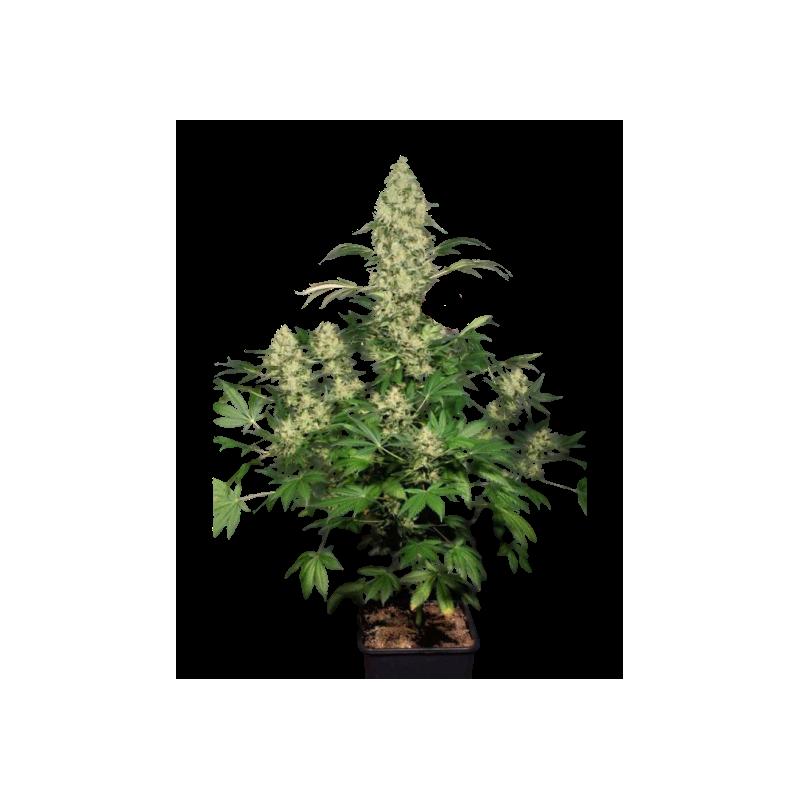 WW x AK47 Feminizowane (Gnomes Seeds)