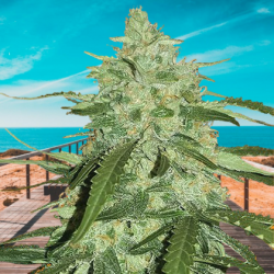 Auto Pineapple Express Feminizowane  (BioGenetic)