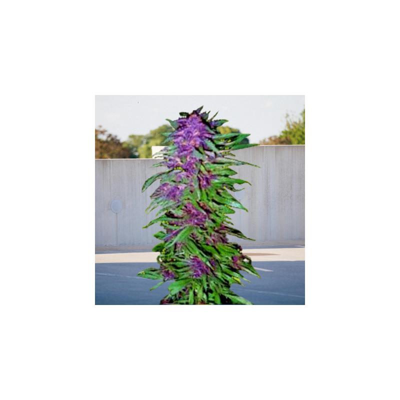 Purple Maroc x Passion Feminizowane  (BioGenetic)