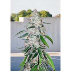 Auto West Coast OG Feminizowane  (BioGenetic)