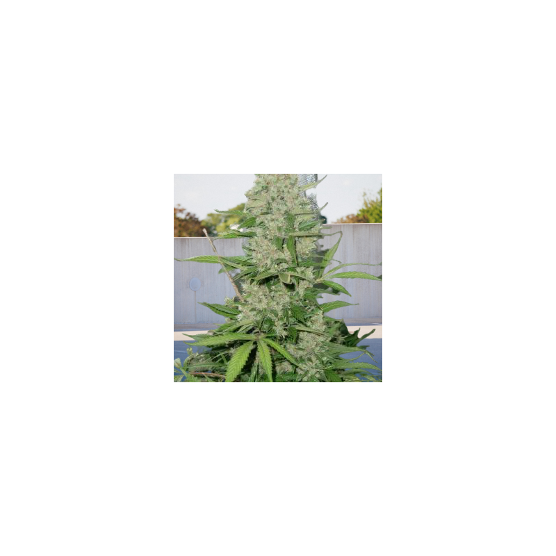 Fast Version Passion x Girl Scout Cookies Feminizowany (Biogenetic)