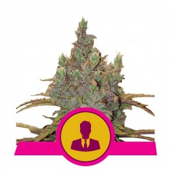 El Patron Feminised (Royal Queen Seeds)