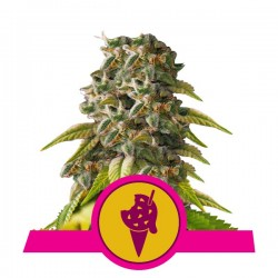 Cookies Gelato Feminizowane (Royal Queen...
