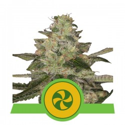 Sweet ZZ Auto Feminized (Royal Queen Seeds)