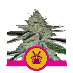 Shogun Feminizowane (Royal Queen Seeds)