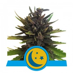 Purplematic CBD Auto Feminized (Royal...