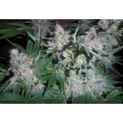 Auto Diesel Tonic Feminized (Gnomes Seeds)