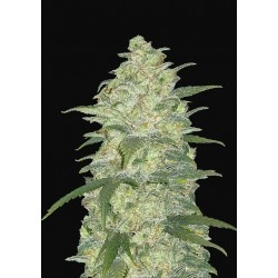 Auto Original White Widow Feminised...