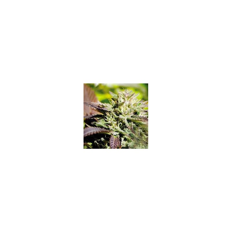 Caramelo Fast Version Feminized (Delicious Seeds)