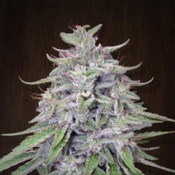 Bangui Haze Regularne (Ace Seeds)