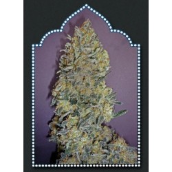 00 Kush Feminized (00 Seeds Bank)