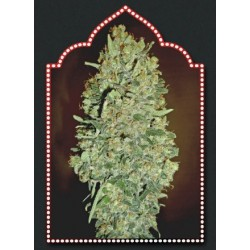 Auto Chocolate Skunk Feminized (00 Seeds...