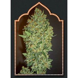 Cheese Berry Feminized (00 Seeds Bank)