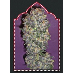Chocolate Kush Feminizowane (00 Seeds Bank)