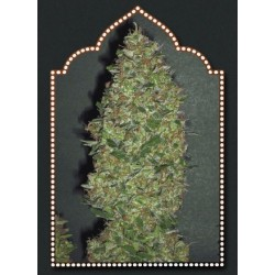 Chocolate Skunk Feminized (00 Seeds Bank )