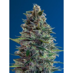 Auto Blue Diesel Feminized (Advanced Seeds)