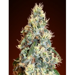 Auto Jack Herer Feminized (Advenced Seeds)