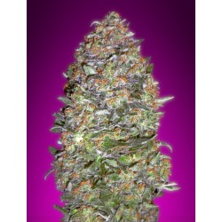 Auto NYC Diesel Feminized (Advanced Seeds)